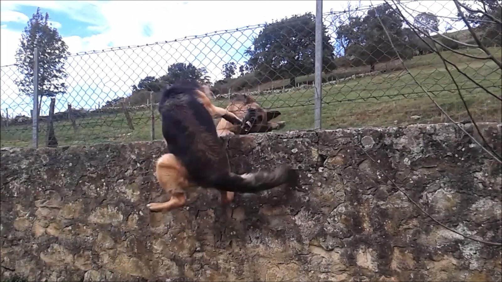 perro ladrando en la valla
