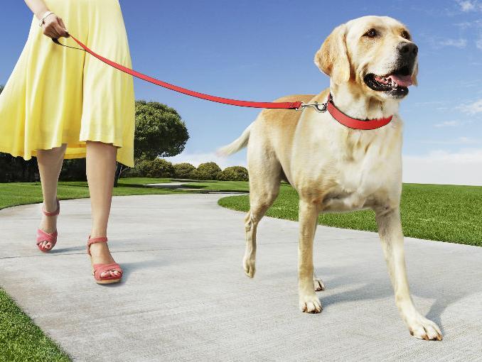 Como enseñar a mi perro para que no tire de la correa